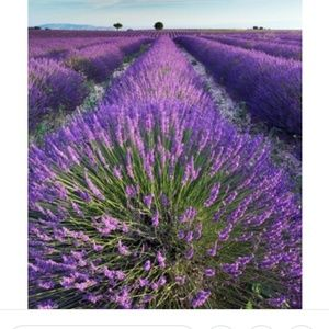 Lavender Other - Have A Beautiful Weekend Everyone 🌸🌻🌼🌷